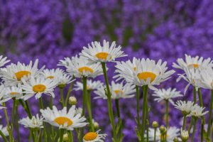 A little daisy in a field of lavender is not hard to find. A positive attitude and good heart is in the midst of  this time.