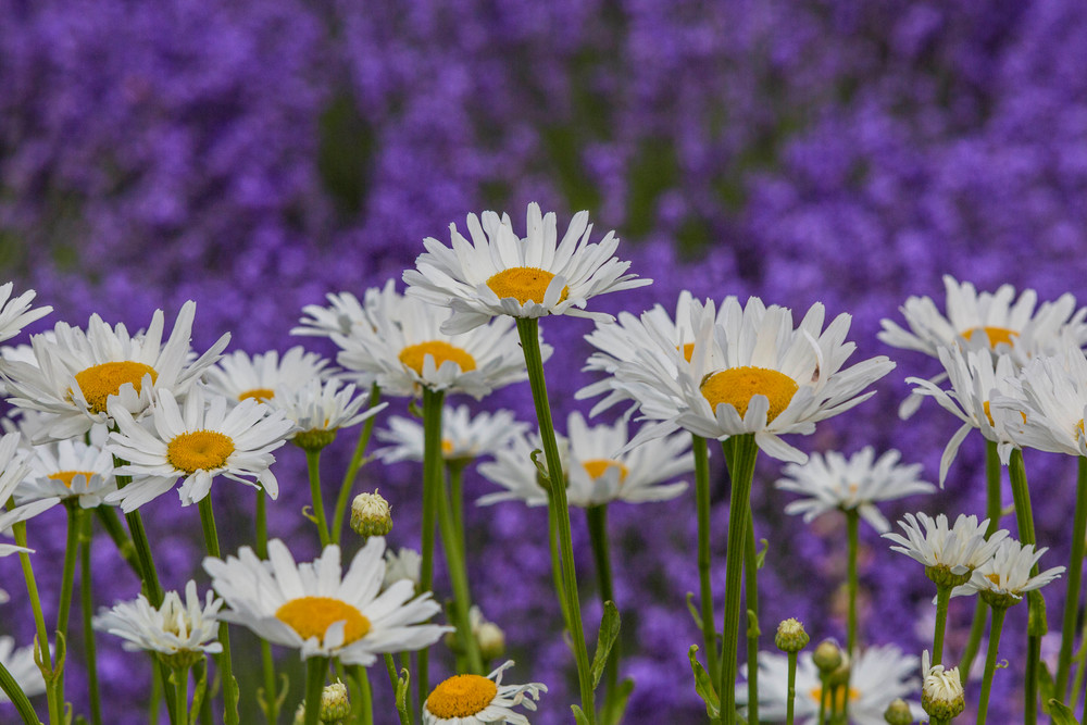 The Little DaIsy in a field of Lavenders